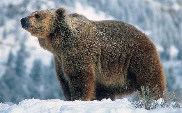 brown bear in snow
