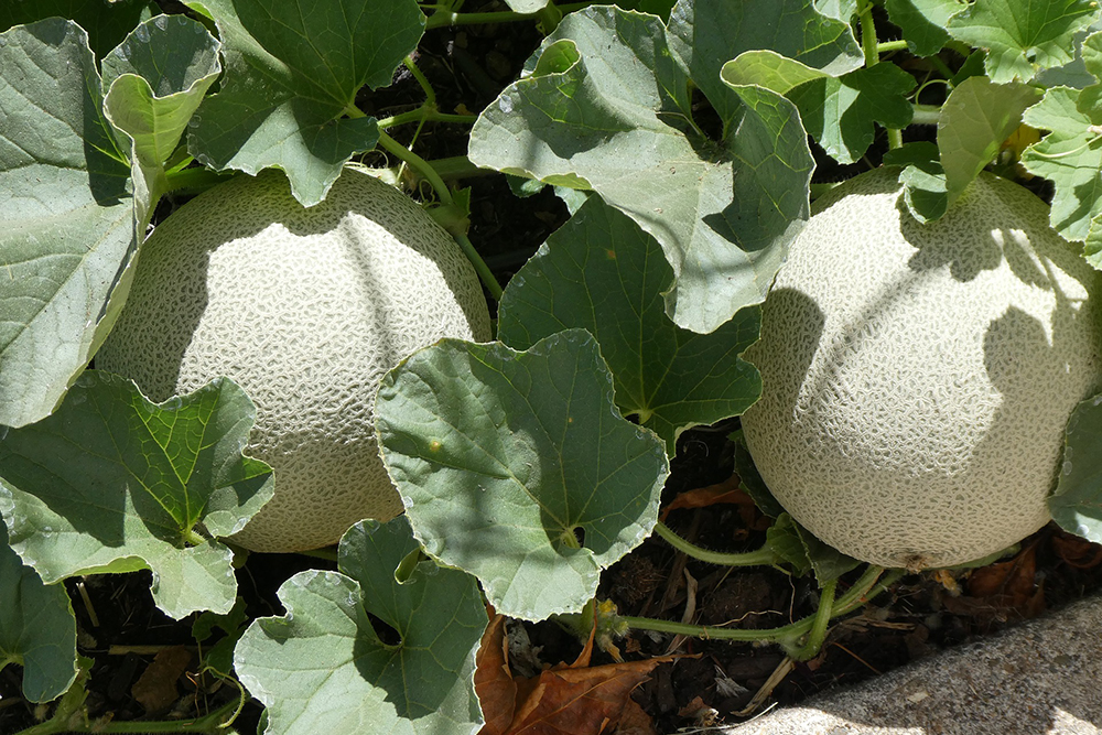 Cantaloupe | The Best Plants to Grow for your Summer Garden