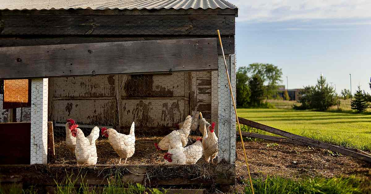 Chicken coop | The Chicken Coop Checklist