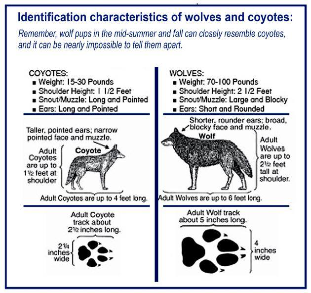 Difference Between Fox And Coyote: What Is The Differencee Between A Coyote And A Wolf