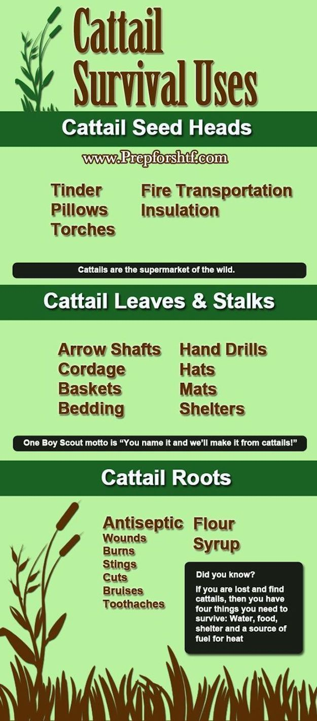 Infographic | Cattails Survival Uses