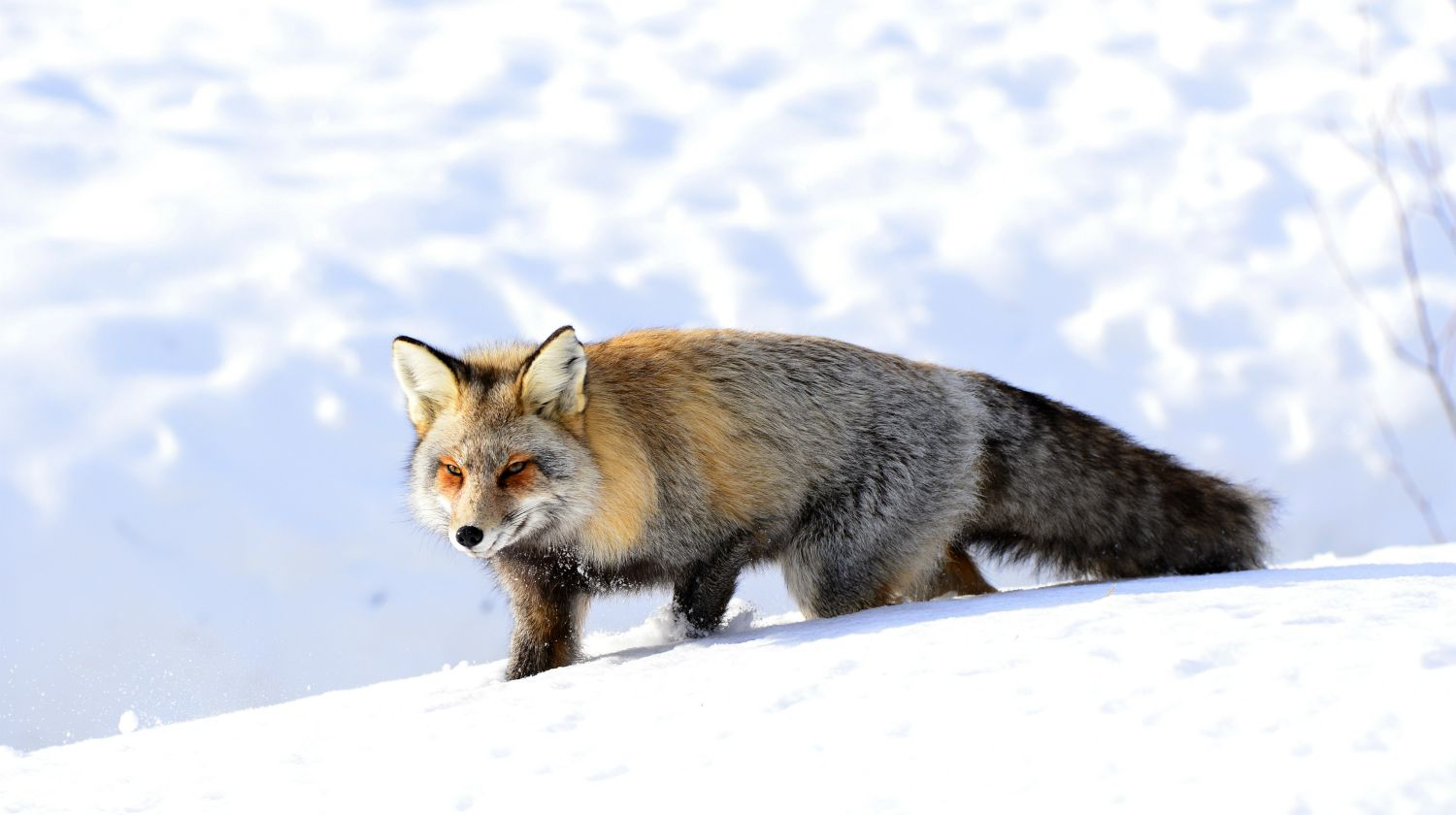 Feature | Fox in the snow | The Basic Snare: Trap For Your Life (Part 2)
