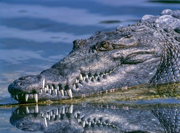 Crocodiles | Dangerous Creatures and How to Avoid Them
