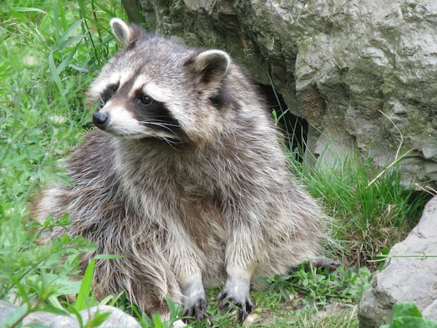 Tips On How To Survive In The Wild | Defending Against Animal Attack | Raccoons