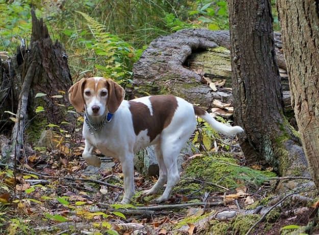 Tip #7: Time Your Hunts | The Do's and Don'ts of Beagle Hunting - Training for the Hunt
