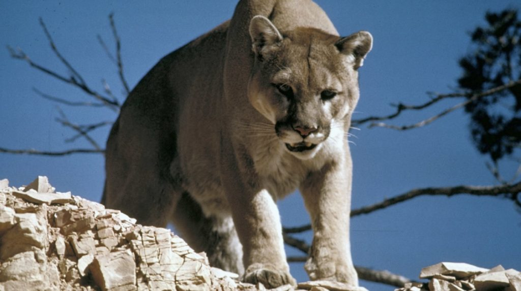 cougar puma on top of the mountain | The Most Dangerous Animals In North America | most dangerous animals | most dangerous animals to walk the earth | Featured