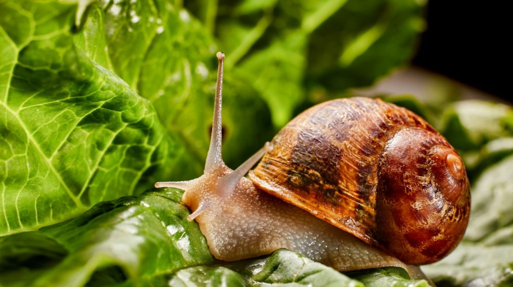 Feature | Snail muller gliding on the wet leaves | Quick Tips For Keeping Snails And Slugs Out Of Your Garden | Survival Gardening