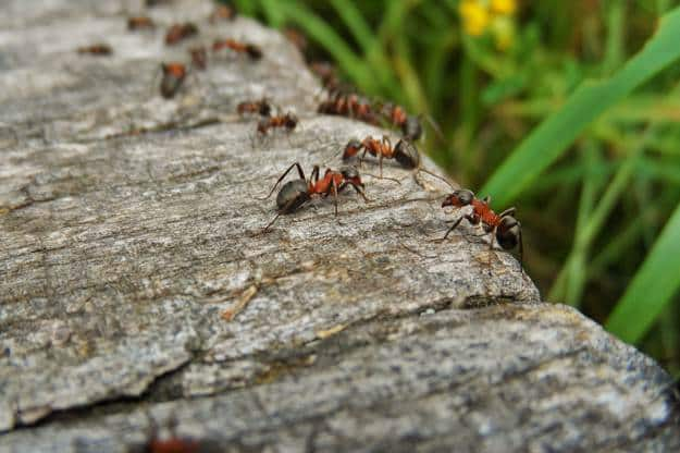 Ants | Edible Insects You Can Consume When Stuck In The Wild