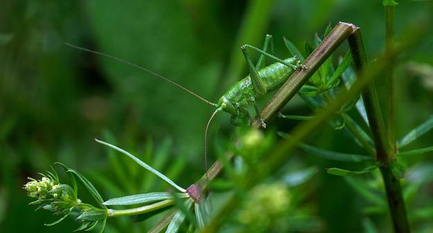 Grasshoppers | Edible Insects You Can Consume When Stuck In The Wild