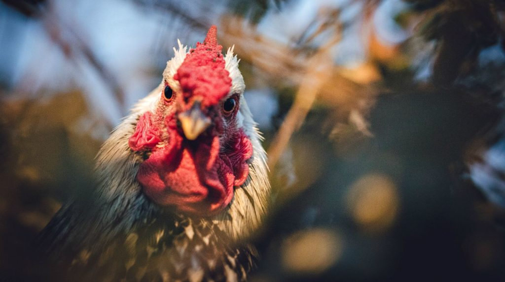 Feature | Red and white rooster in fields | Human Diseases Caused By Chickens