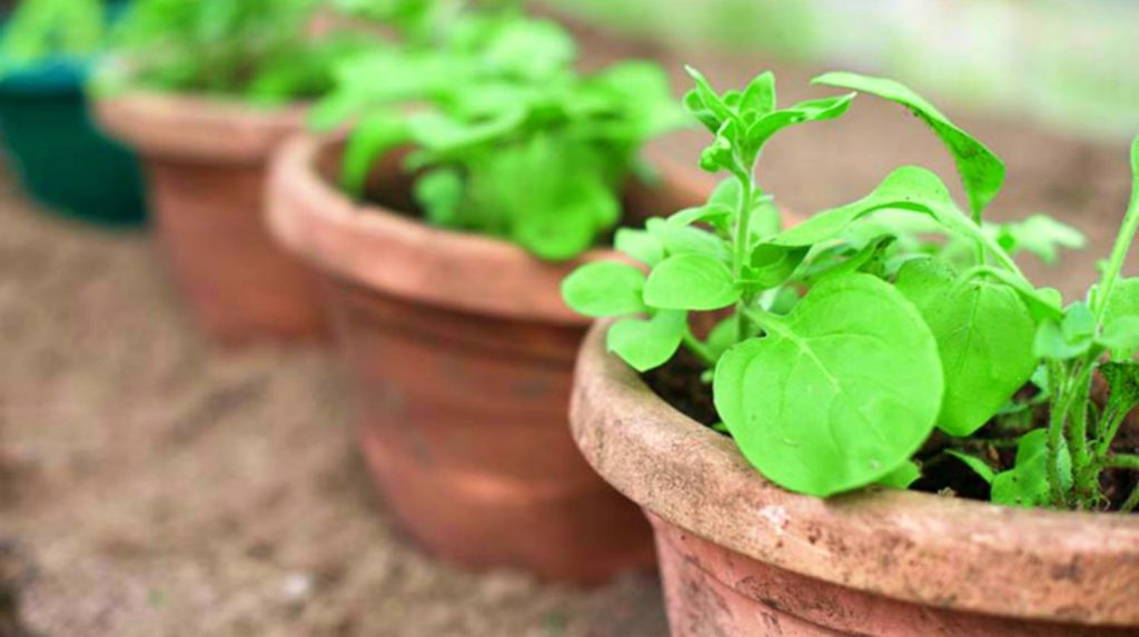 Feature | Plant in a brown pot | Container Gardening Tips For Preppers And Survivalists