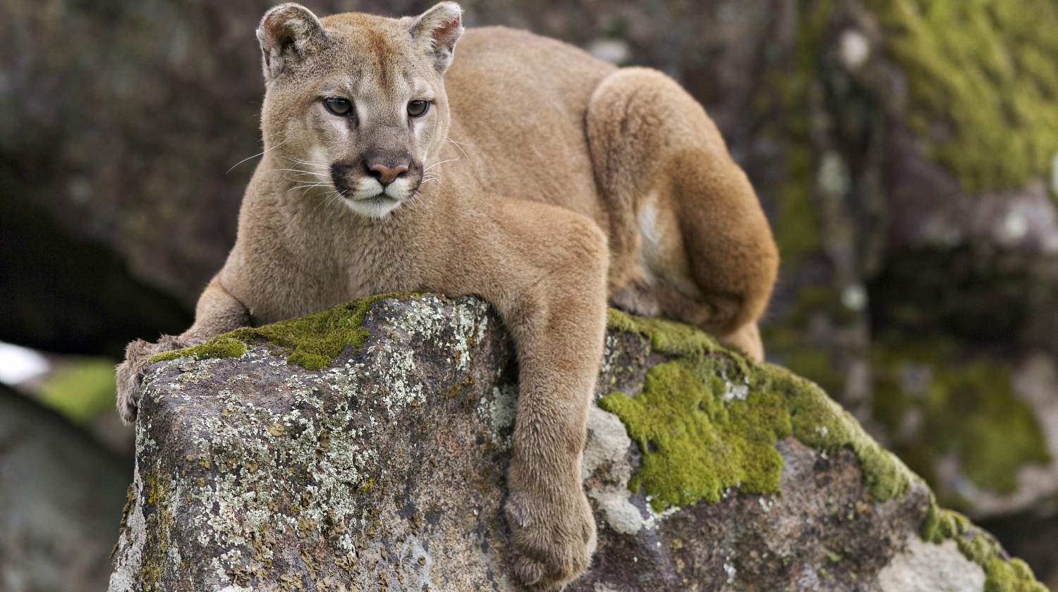 Feature | Mountain lion on moss covered rocks during spring time | Remarkable Facts About Mountain Lions