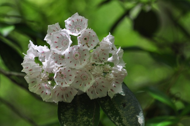 Mountain Laurel | The Ultimate Guide to Poisonous Plants | Wilderness Survival Skills
