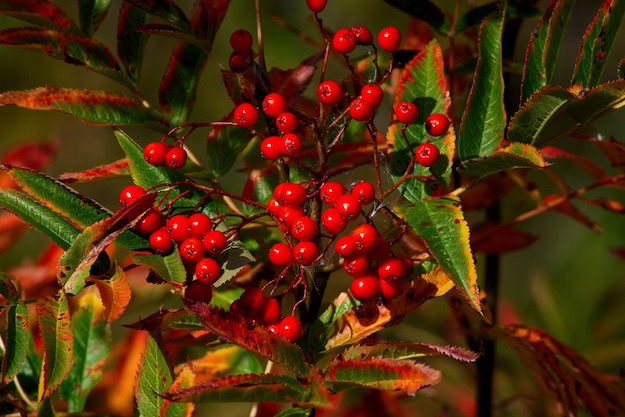 Toyon | The Ultimate Guide to Poisonous Plants | Wilderness Survival Skills