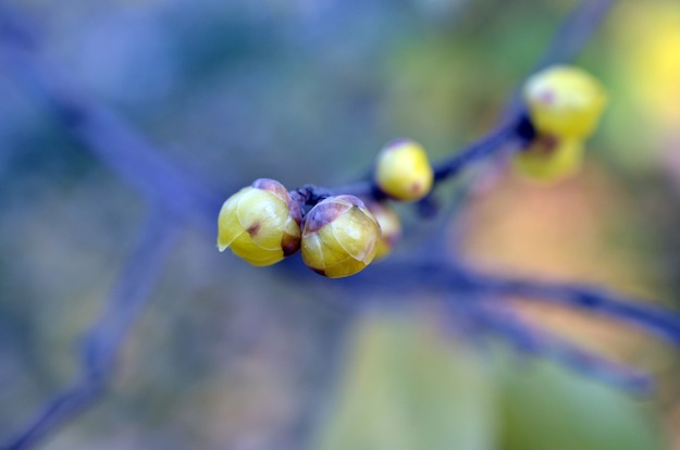 Wintersweet | The Ultimate Guide to Poisonous Plants | Wilderness Survival Skills