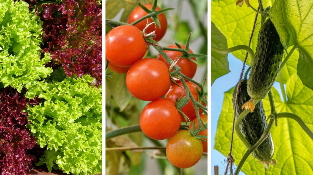 Eche un vistazo a las 8 verduras más fáciles de cultivar para principiantes en https://survivallife.com/easiest-vegetables-to-grow-beginners/